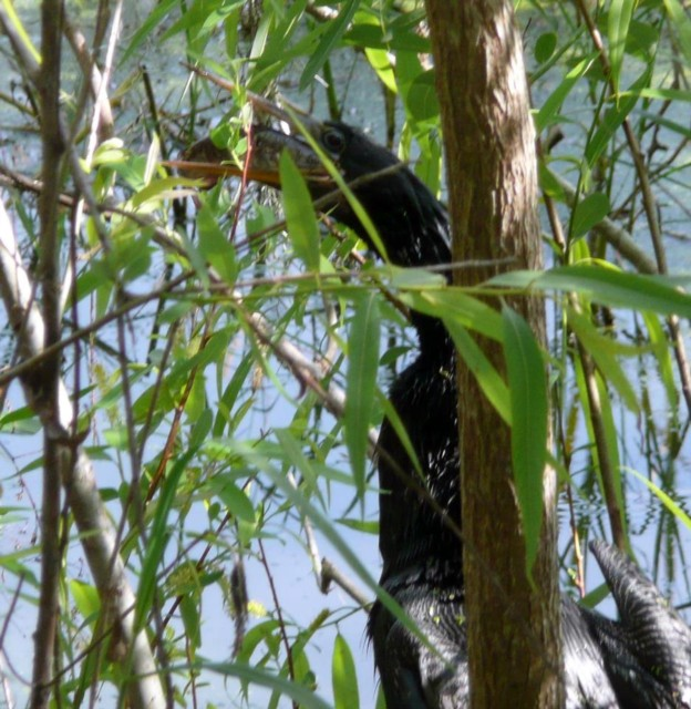 Anhinga through trees