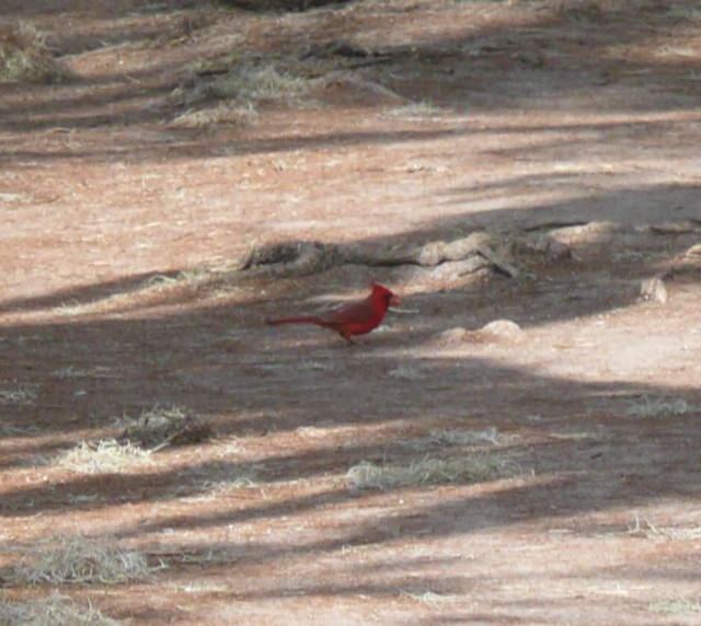 Red Cardinal on the pathway